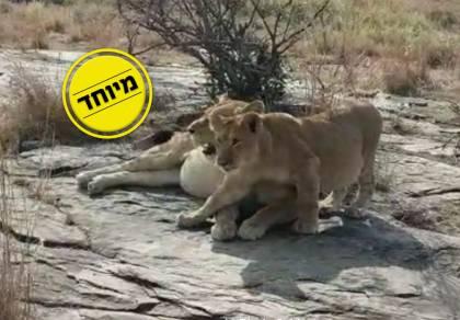 גור האריה עם אמו הלביאה