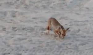 צפו: השועל חפר בחול, וטרף את ביצי הקן