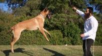 החרדי שמתאמן עם כלב רועה גרמני • גלריה