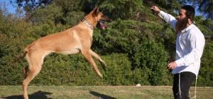 החרדי שמתאמן עם כלב רועה בלגי • גלריה