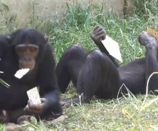 """הקופים ו""""שמחת המצות"""" - איזו התרגשות: כך קיבלו הקופים את המצות"""