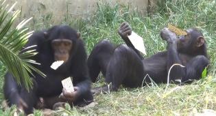 """הקופים ו""""שמחת המצות"""""""