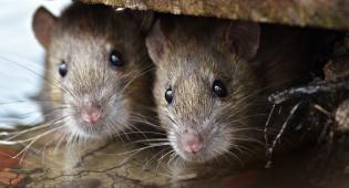 אילוסטרציה - נוסעים לפריז? הזהרו ממתקפת העכברושים