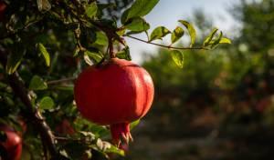 ירבו זכויותינו כרימון: תיעוד עצי הרימונים