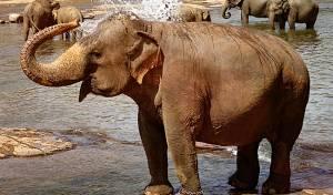 פיל חשב שאדם עומד לטבוע, זה מה שהוא עשה