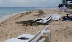התנין - תנין ענק הסתובב בין הרוחצים על החוף. צפו