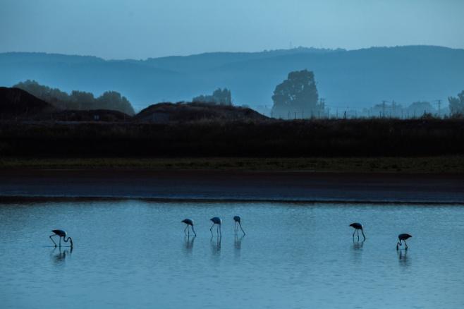 ציפורי הפלמינגו בשמורת כפר יהושע • צפו