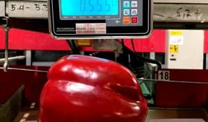 """פלפל ענק במשקל 0.555 ק""""ג צמח ב'עידן'"""