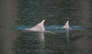 תצפית נדירה: דולפין חדש הגיע למפרץ אילת