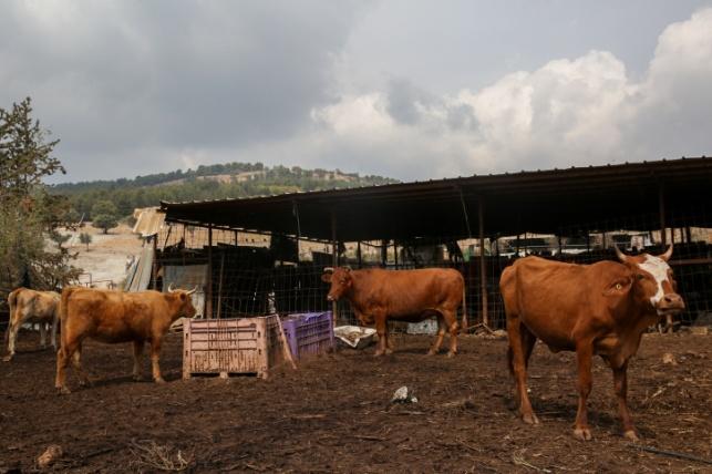 פרות בכפר אקברא שבצפון