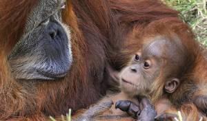 רחמים. גור אורנג אוטן בן 3 - בילוי משפחתי בספארי: כיף חיות!