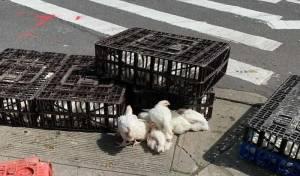חלק מהתרנגולים שננטשו על הכביש