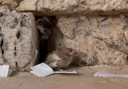 צפו: הגוזל הקטן יצא מתוך הקן שבתוך הכותל