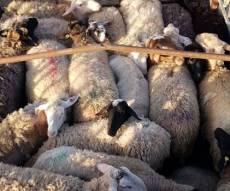 במשאית החשודה התגלו 26 כבשים גנובים