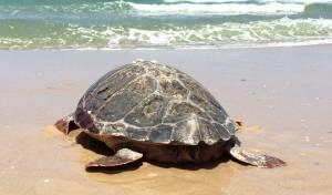 צפו: צבת הים שוחררה מטיפול נמרץ - לים
