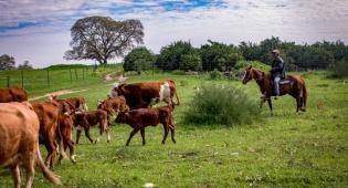 בוקר עם עדר פרות ברמת הגולן - התחזית: חם ויבש ואביך ברוב חלקי הארץ