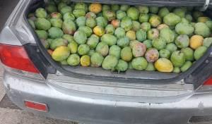 """הגנבים נתפסו על חם עם 350 ק""""ג של מנגו"""