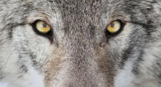 """""""מי מפחד מהזאב הרע?"""" – מסה בעקבות הרוע והחירות"""