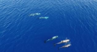 מרהיב: להקת דולפינים מסוג גרמפוס באילת