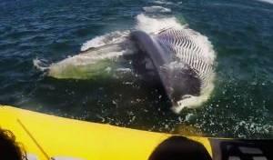 לוויתן מתקרב לסירה