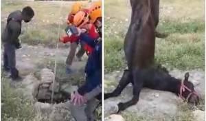 מנוף משאית סייע בחילוץ הסוס מהבור • צפו