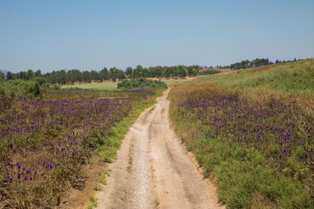 שדה ארטישוק ליד מושב שדה ברוך