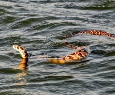 מפחיד: צפו בנחש השוחה בעמק המעיינות