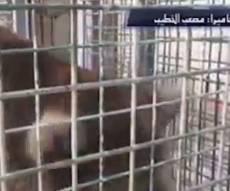 דוב אכל את ידו של ילד פלסטיני בן תשע