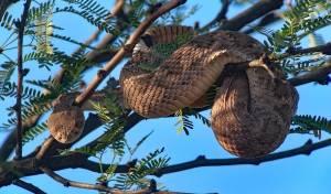 מפחיד: נחשים ארסיים נצפו על ראשי עצים