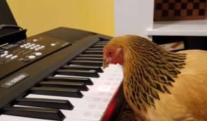 תרנגול מוזיקלי - מנקר עינים: התרנגול הזה באמת מנגן על פסנתר