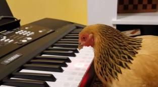 תרנגול מוזיקלי
